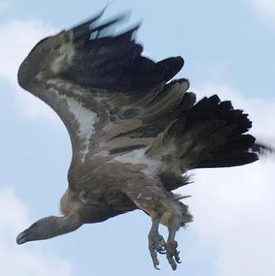 Foto del buitre volando