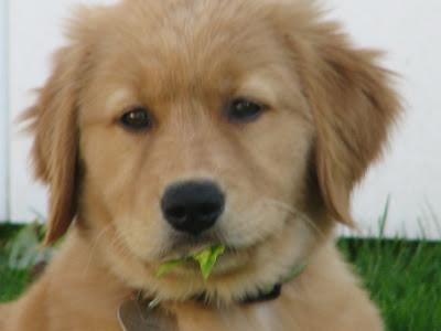golden retriever puppy eating a leaf