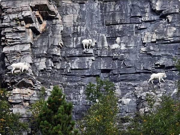 kambing gurun
