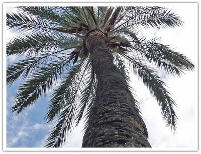 Palm i Palma