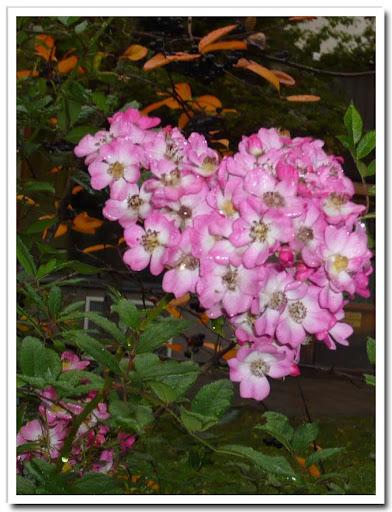 Rosablommande buske