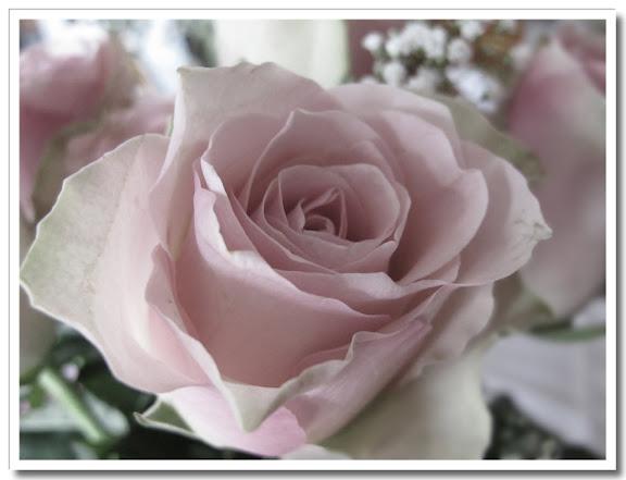 Blekt ros