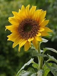 bunga matahari ditiup angin..