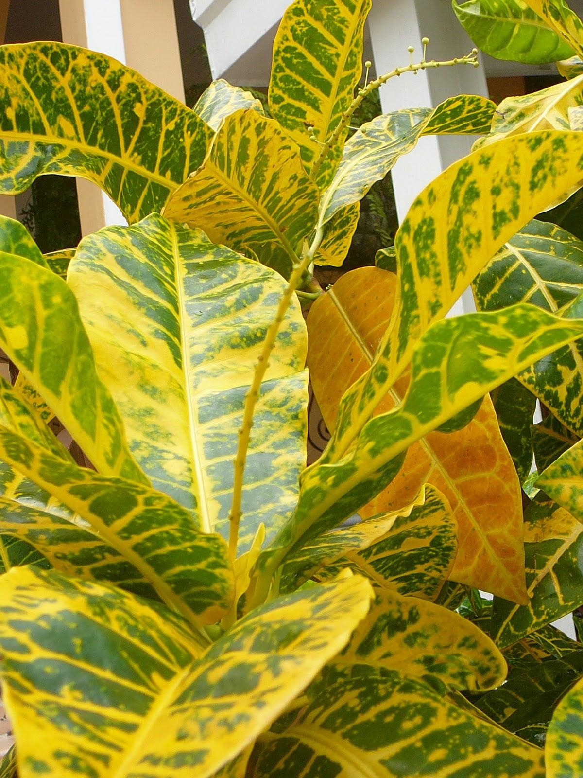 Mis plantas en panam cambiando de pote un croto for Plantas ornamentales croto