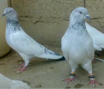 High Fly Pigeons http://lahore-123.blogspot.com/2011/11/high-flying-pigeons-2012.html