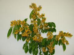 Flower Paduk