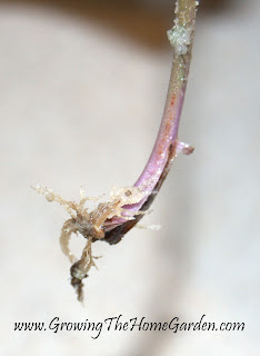 heuchera, cuttings, plant propagation