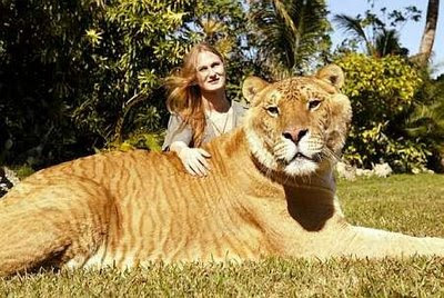 World's largest LIGER (Lion + Tiger) Amazing Facts of Lion and Tiger