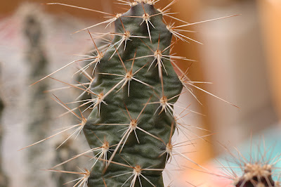 Opuntia polyacantha var. hystricina (Grand Canyon, Arizona)