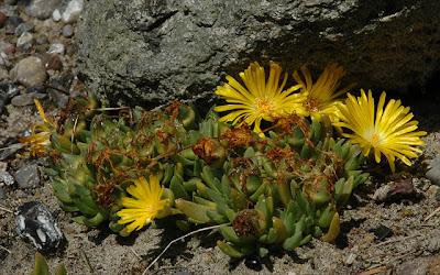 Delosperma sp. (Sani Pass, Lesotho)