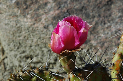 Opuntia tortispina flower