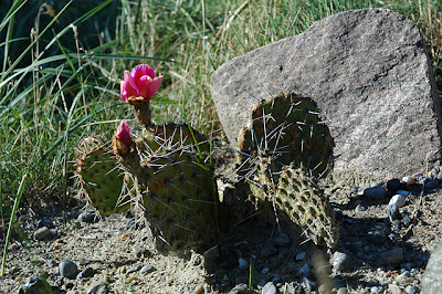 Opuntia tortispina in unprotected bed