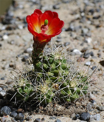 Flowering Echinocereus triglochidiatus var. mojavensis