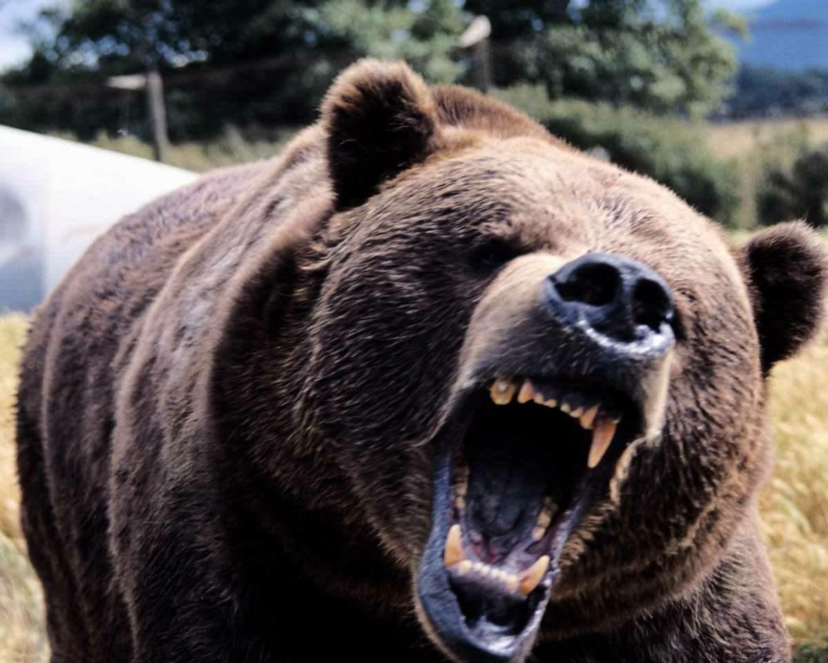 Dupla 1 e 4 Scary-angry-bear
