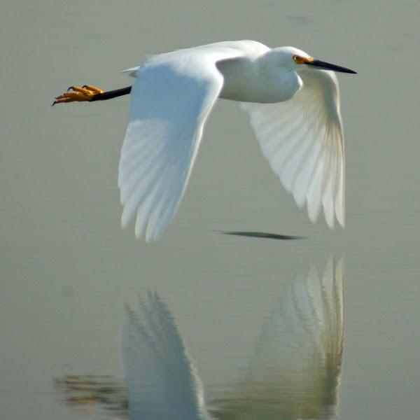 SnowEgret1 - Snowy Egret ...