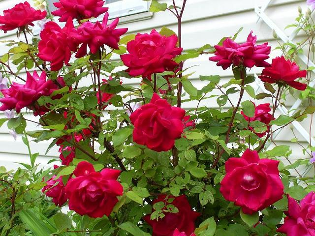 Flowers how to plant and care of roses - When to plant roses ...