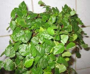 Plantas de interior ficus rastrero - Variedades de ficus ...