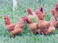 Como criar galinha caipira, também é um (  predador dos caramujos )