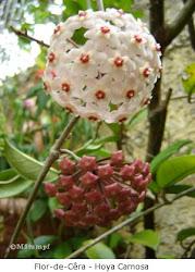 Flor-de-cera  -  Hoya Carnosa