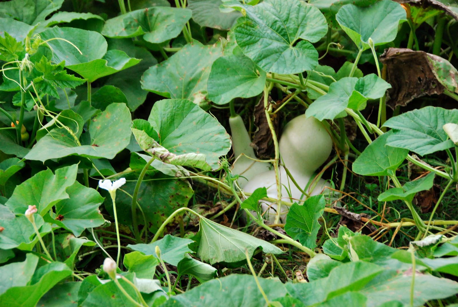 Growing Gourds For Crafts
