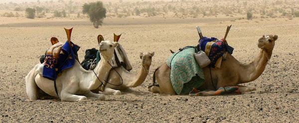 Tuareg Camels