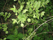 Grüne Nieswurz eine alte Zauberpflanze