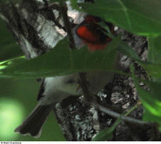 Red-faced Warbler - Dowdell&#39;s Knob, Pine Mountain, GA - 4/27/10