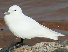 Ivory Gull - West Point Lake, GA - 1/28/10 by Michael Barrett