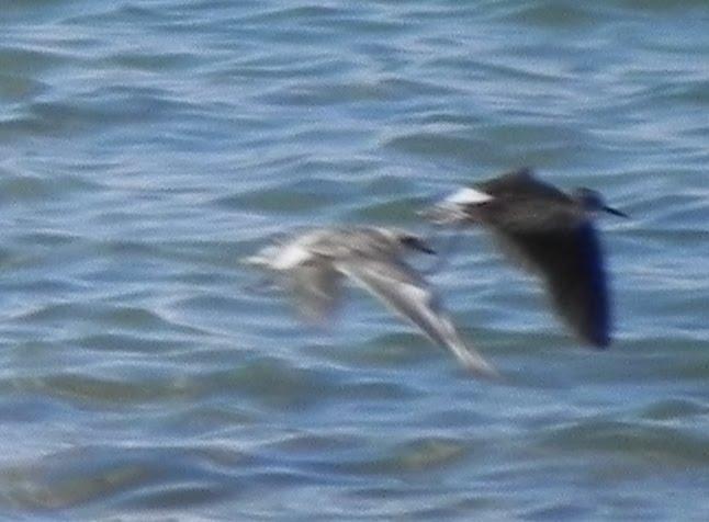 Green sandpiper flight - photo#15