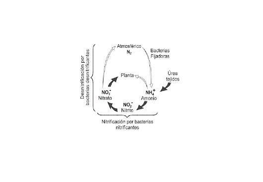 Imagen: Bacterias: Nitrificantes y desnitrificantes en el suelo