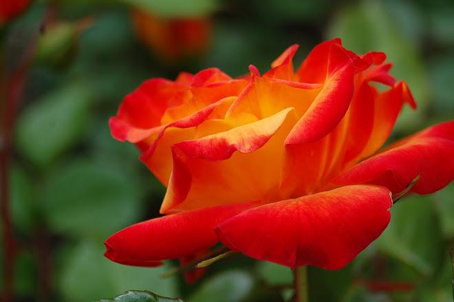 Una rosa para todas las madres-2