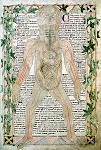 13th Century Anatomical Illustration.