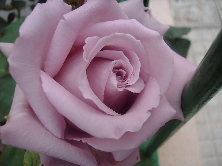 el mundo necesita rosas