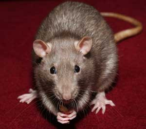 Kill mice and rats in Jefferson County Missouri and St. Louis, MO