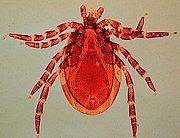 Deer Tick Ixodes scapularis (NOAA)