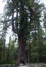 Pokok sequoia