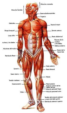 Biología Médica: Contracción Muscular: Base Molecular
