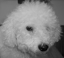 My Bichon Joey