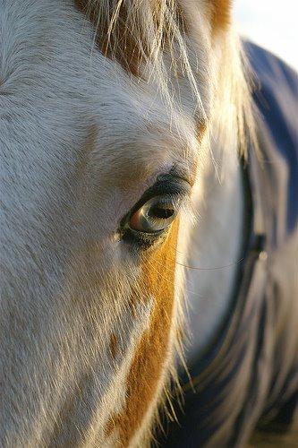 Caballo pinto de ojos azules02