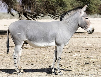 Burro Africano - African Wild Ass