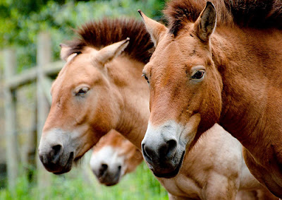 Caballos de raza Przewalskii