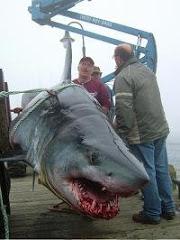Cápa támadások