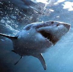 A gyönyörű nagy fehér cápa