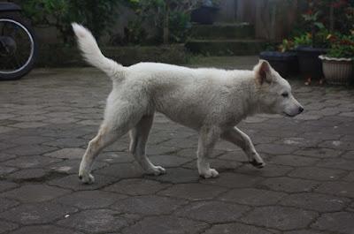 Anjing Kintamani, Batur, Kintamani, Bali