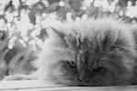 Simba o gato