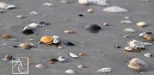 Fernandina Beach, FL Shells