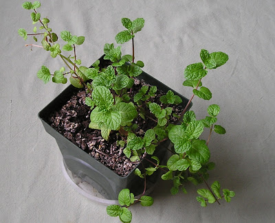 Growing Mint Inside During the Winter