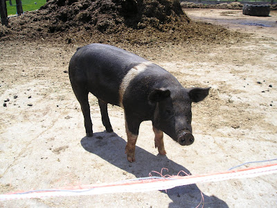 Meeting Place Organic Farm Pig