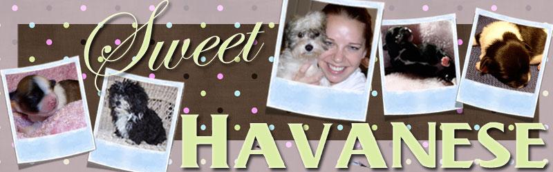 Sweet Havanese