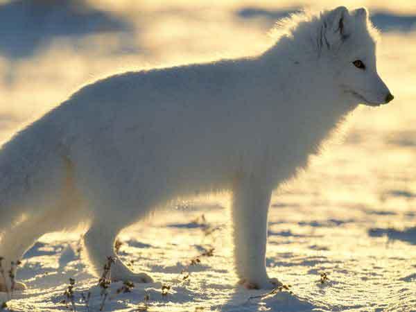 The Arctic Fox Alopex Lagopus